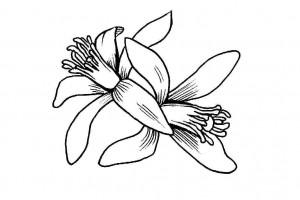 etrog blossom sketch1-2